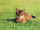 Pretty Cat Lying In Green Grass Outdoor. poster
