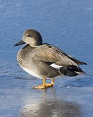 stock photo of gadwall  - Drake Gadwall standing on thin clear ice - JPG