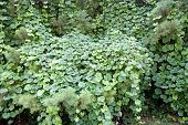 stock photo of kudzu  - Kudzu vines choking out normal vegetation and trees - JPG