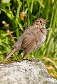 foto of brown thrush  - Song thrush  - JPG