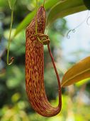 stock photo of nepenthes  - Nepenthe tropical carnivore pitcher plant close up - JPG
