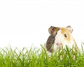image of gerbil  - brown guinea pig in the grass - JPG