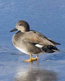 picture of gadwall  - Drake Gadwall standing on thin clear ice - JPG