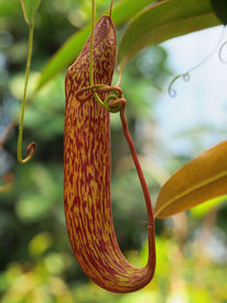 picture of nepenthes-mirabilis  - Nepenthe tropical carnivore pitcher plant close up - JPG