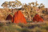 Termite Nests