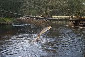 pic of lax  - jumping out from water salmon on river background - JPG