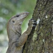 Iguana climbing tree in forest