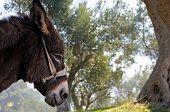 Donkey and olive tree