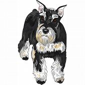 Vector Dog Breed Miniature Schnauzer Black And Silver Color