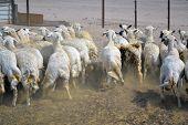 Fugitivo de ovelhas