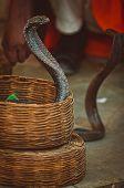 Cobras encantadas por um encantador de serpentes