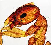 Ms Ant Head Microscope