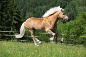 Nice Haflinger Stallion Running On Pasturage