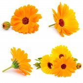 Calendula  flowers isolated on white