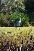 Florida Sandhill Crane In Natural Environment