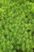 Dwarf Alberta Spruce Needlesa
