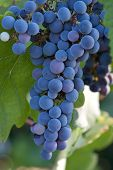 Blue Wine Grapes