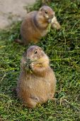 Prairie dogs eating plant peacefully