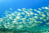 stock photo of shoal fish  - School of sardines fish - JPG