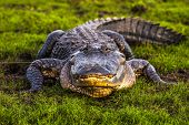 stock photo of alligators  - Wild alligator in Orlando Florida Area USA