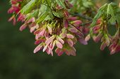 Pink Winged Maple Seeds Acer circinatum 2