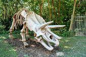 Triceratops Fossil Skeleton Over Natural Background
