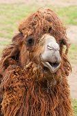 Portrait Of Funny Camel Close-up