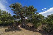 Relict juniper tree, Crimea.