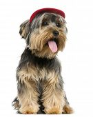Yorkshire Terrier wearing a cap, sitting, panting, 9 months old, isolated on white
