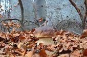 picture of porcini  - Delicious edible Porcini mushroom in natural habitat autumn beech forest - JPG