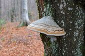 Perennial Tinder Mushroom