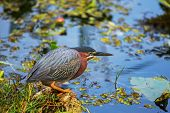 Green Heron,Everglades National Park, Florida