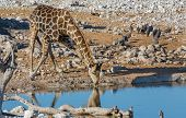 Giraffe drinking at waterhole