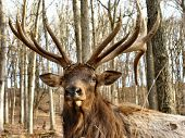 Face Shot Of Elk