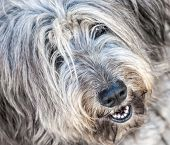 Portrait Of Shaggy Gray Dog  In The Street