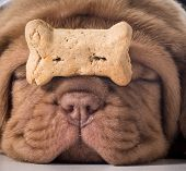 stock photo of dogue de bordeaux  - dog with a bone  - JPG