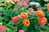 pic of lantana  - Lantana or Wild sage or Cloth of gold or Lantana camara flower in the garden - JPG