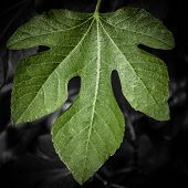Green Fig Leaf Against Dark Monochrome Background