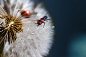 Red Bug On The Dandelion