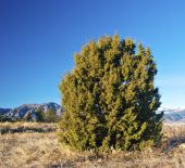 picture of colorado high country  - Round juniper tree or bush in the Colorado foothills - JPG