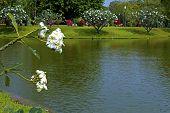 Flower Plumeria Poolside