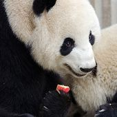 Giant Panda Eating Apple. Chengdu, China