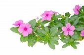 Periwinkle or madagascar flowers