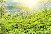 stock photo of darjeeling  - Tea plantation in Munnar Kerala state India - JPG