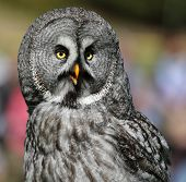 Close-up view of a Great Grey Owl