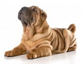 chinese shar pei laying down looking up isolated on white background
