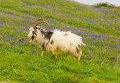 picture of billy goat  - British Primitive goat breed feral with large horns and beard white grey and black - JPG