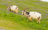 British Primitive goat breed feral with large horns and beard white grey and black