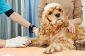 veterinarian surgeon worker making medical examination blood test of dog in veterinary surgery clini