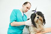 male veterinarian surgeon worker treating examining west highland white terrier dog in veterinary su